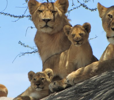 Tanzania, Africa, Safari