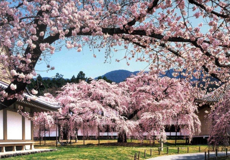 Diago Ji Temple, encased i -cherry blossom in the spring Kyoto, Japan