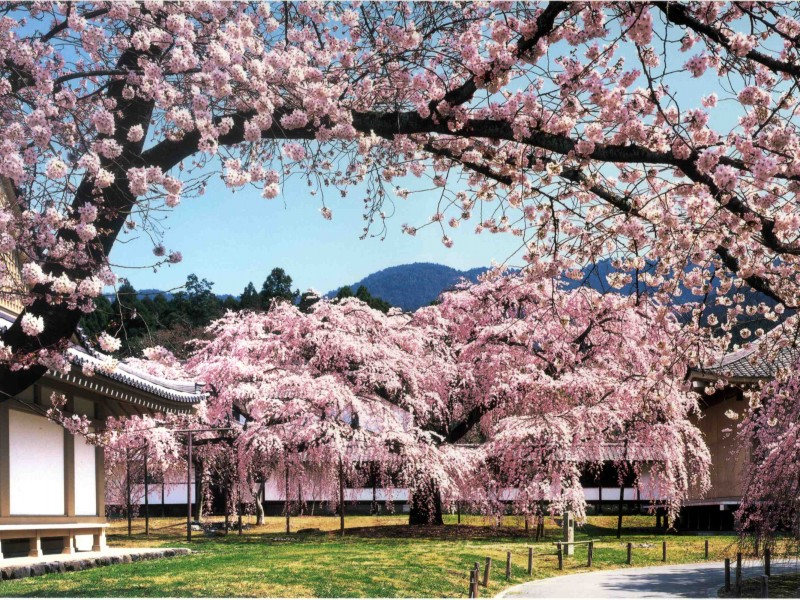 Diago Ji Temple, encased i -cherry blossom in the spring Kyoto, Japan