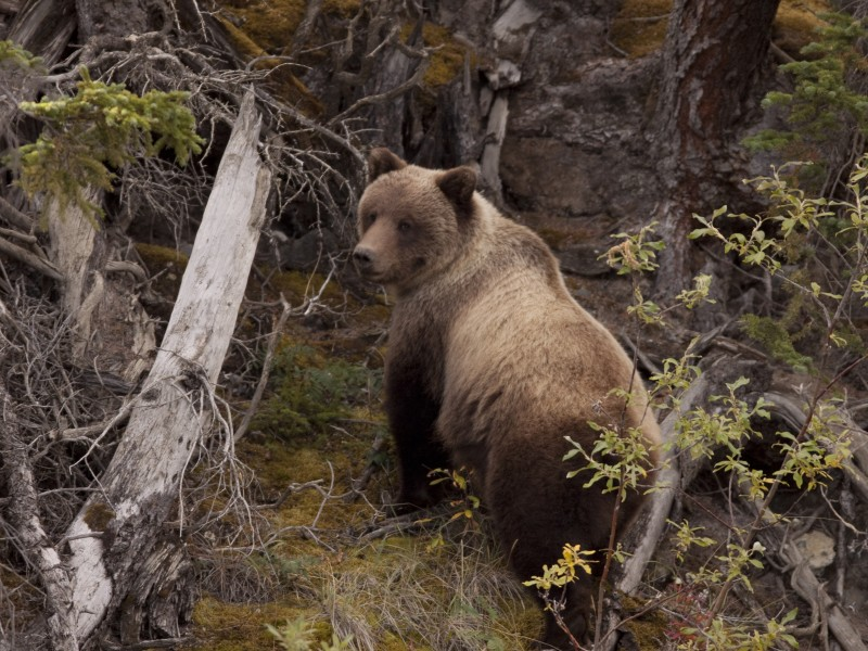 Tourism_Yukon__1200541_Grizzly Bear-RobertPostma