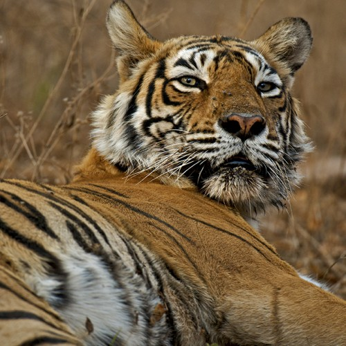 Tiger_India_2