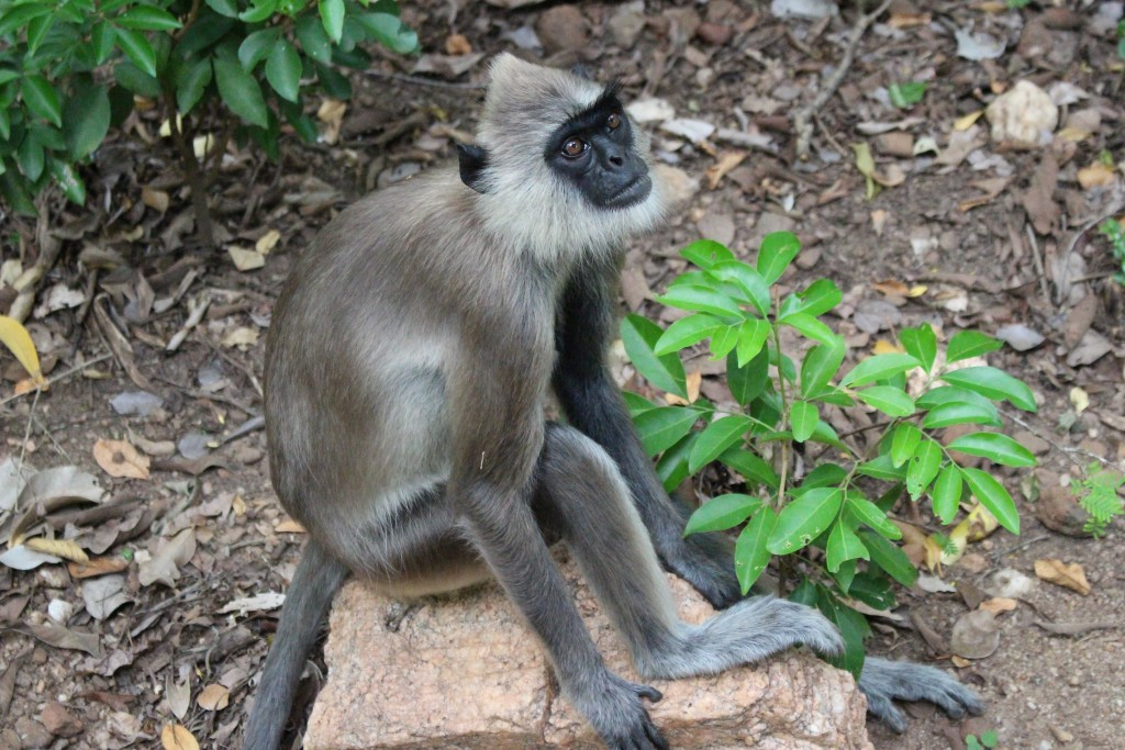 Monkey, Sri Lanka