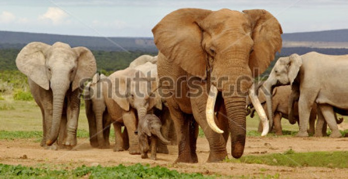 stock-photo-an-elephant-herd-led-by-a-magnificent-tusker-bull-at-a-waterhole-in-the-addo-elephant-national-119196472