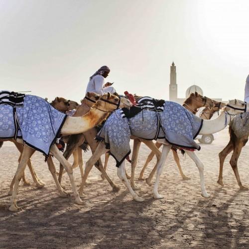 CULTURE - Camels, Dubai