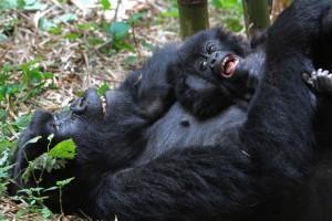 Mountain gorilla, Gorilla gorilla berengi, Volcanoes National Park, Rwanda