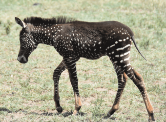 Kenya_Rare_Zebra_RB_Collection_2